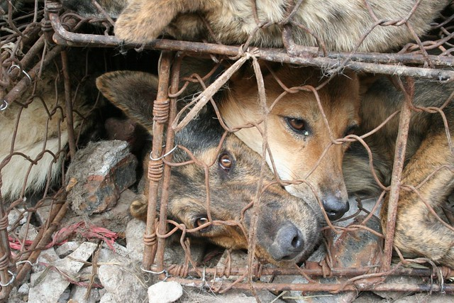 Dogs are transported like this for days without food or even water
