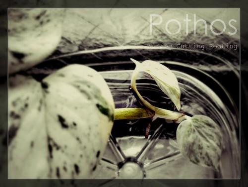 Pothos_eye