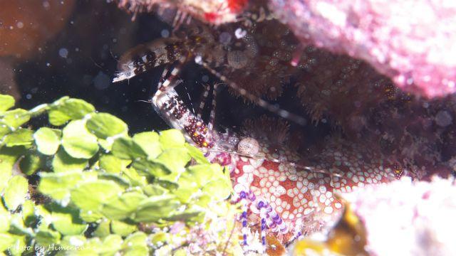 サンゴモエビのペア