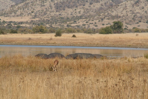 Hippos by the water