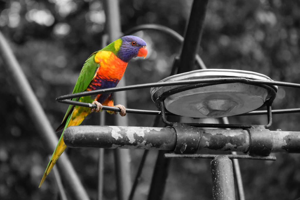 Lorikeet at Currumbin Wildlife Sanctuary / Gold Coast / Australia
