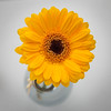 Yellow Gerbera in Vase by cathbooton