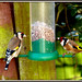Small photo of Goldfinch pair Female(left) Male(right)