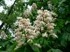 Каштан цветет // Chestnut in blossom