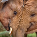 Elephants in Love 3, David Sheldrick Elephant Orphanage by Poulomee Basu