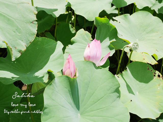 三峽蓮花景點 (9)