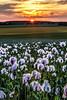 Winchester Poppy Field Sunset-4.jpg by keety uk