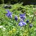 Aquilegia alpina (Kerrie Porteous)