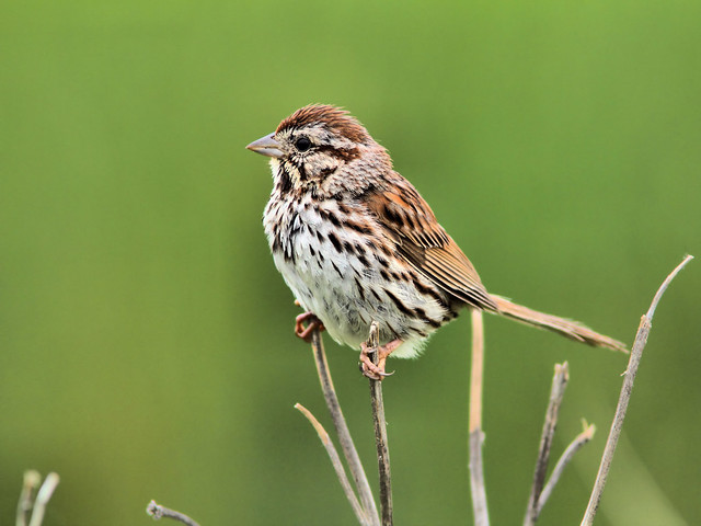 Song Sparrow HDR 20150709