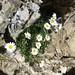 Alpine Moon Daisy (Kerrie Porteous)