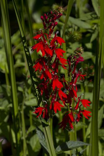 IMG_5237-Cardinal Flower