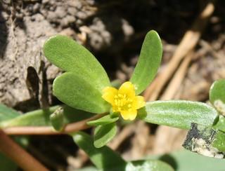 2015-8-7. Purslane blossom 2