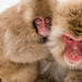 Young & mother Snow Monkeys by koalie