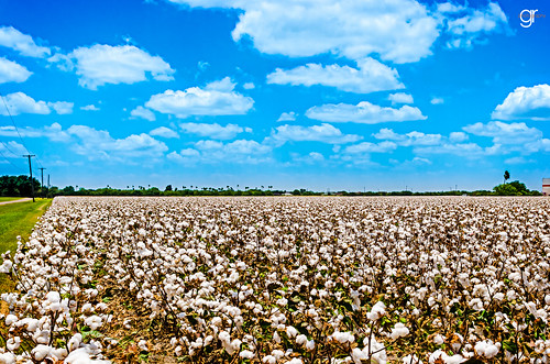 blue cloud texas bluesky cotton harlingen southtexas cottonfield hotsummerday texasbackroads ilovetexasphoto cottonblooming
