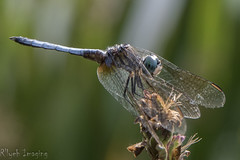plant stem(0.0), arthropod(1.0), animal(1.0), damselfly(1.0), dragonfly(1.0), dragonflies and damseflies(1.0), wing(1.0), nature(1.0), invertebrate(1.0), macro photography(1.0), fauna(1.0), close-up(1.0), net winged insects(1.0),