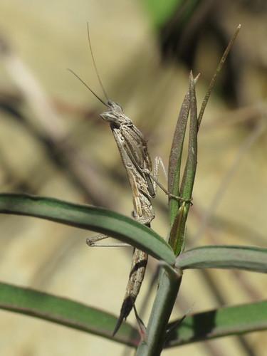 Ameles cf. picteti nymph (Mantidae)