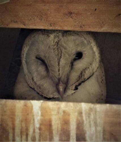 barn owl tyto alba bird kenya njoro chouette efffraie
