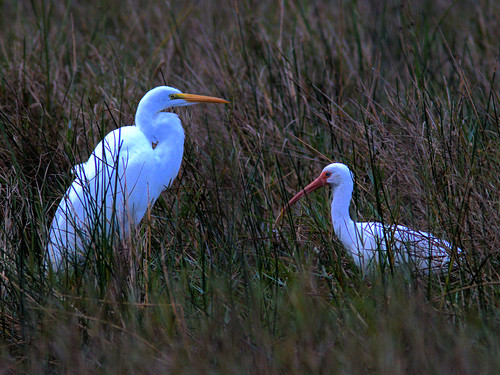Great Egret and White Ibis 20170110