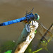 Blue Dasher Dragonfly by Tony Clements~