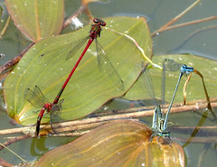 Large red Damsels.  Pyrrhosoma nymphula. mate guarding whilst laying