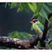 Golden-throated Barbet ( Megalaima franklinii ) by shivanayak