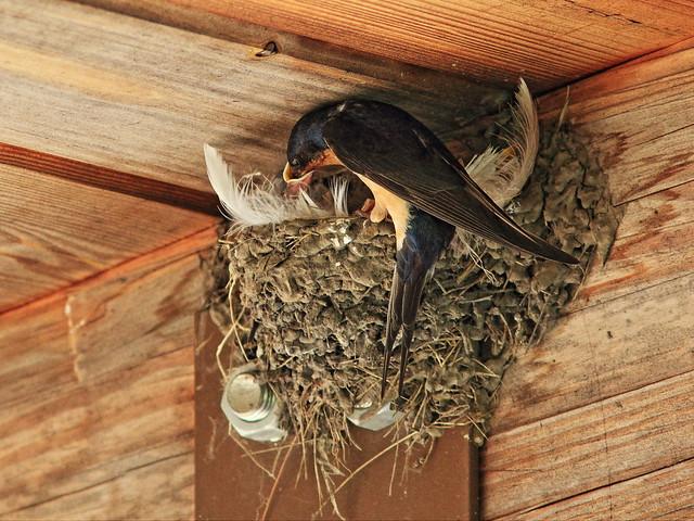 Barn Swallow feeding four nestlings 2-20150710