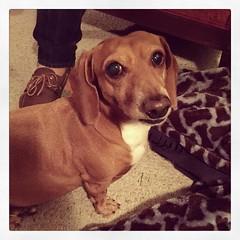 This little girl, Bella, is so cute and so kind....  #mansbestfriend #dog #daschund #bella #loveable #merionvillage