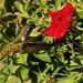 Rufus Hummingbird Female by jerrygabby1