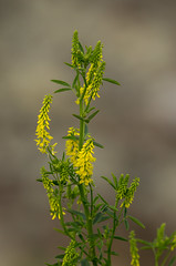 Yellow Wild Sweet Clover (Melilotus officinalis)