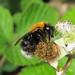 Bombus hypnorum (Tree Bumblebee)