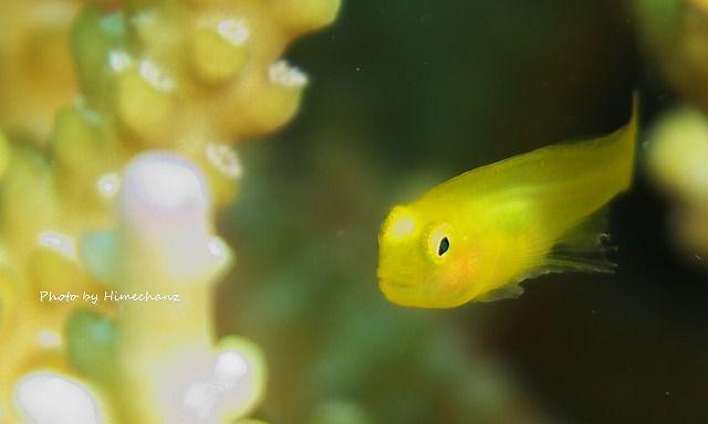 透明感が堪らない!キイロサンゴハゼの幼魚
