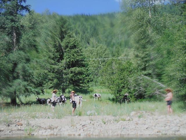 16 cows
