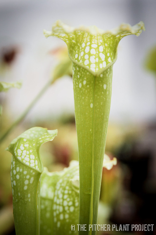 "Sarracenia ""Green Monster"""