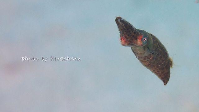 世界最小のイカ=ヒメイカ