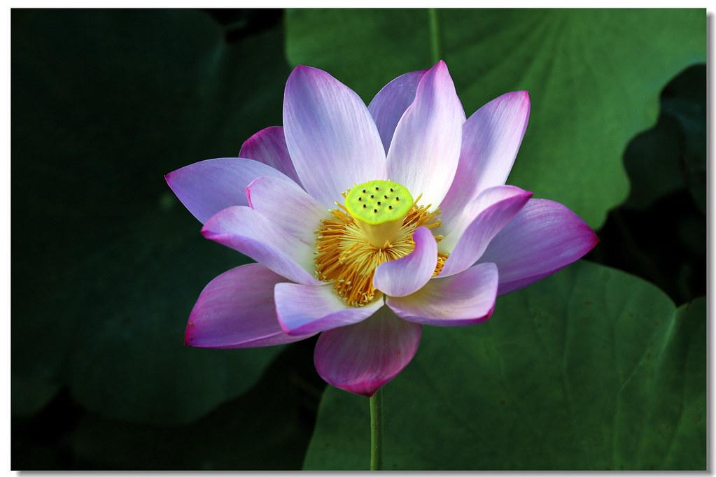 CS8C8432 HOUHU Lotus
