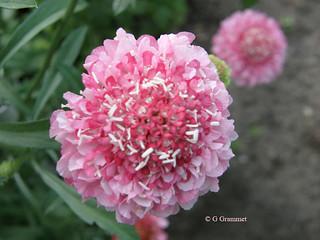 Scabiosa Atropurpurea rose