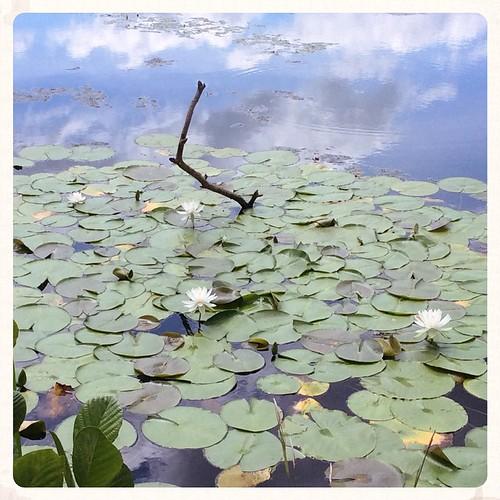 Ah summer! #summer #joy #beauty #waterlilies #bonniesennott