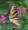 lady Tiger in pink penta by Vicki's Nature