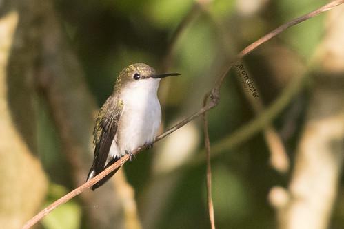 caribbean jamaica mellisugaminimaminima nikond7100 sigma150500mmf563dgoshsm vervainhummingbird westmoreland animal nature wildlife
