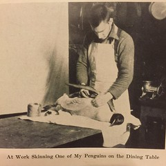 """""""At Work Skinning One of my Penguins on the Dining Table"""" -Paul A. Siple  """"A Boy Scout With Byrd"""" (1931)"""