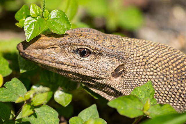 Monitor lizard trying to find some shade