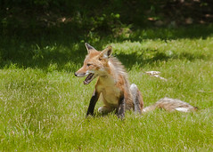 dhole(0.0), kit fox(0.0), animal(1.0), mammal(1.0), jackal(1.0), fauna(1.0), red fox(1.0), coyote(1.0), wildlife(1.0),