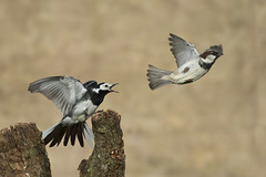 Pied Wagtail (Motacilla alba)  House Sparrow (Passer domesticus)