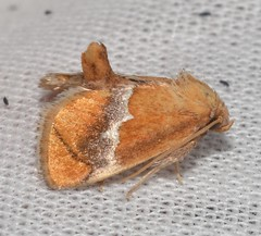 # 4665 – Lithacodes fasciola – Yellow-shouldered Slug Moth