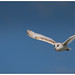 Owl  in flight by SFB579 Sadhu Sadhu Sadhu