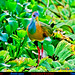GRAY-NECKED WOOD-RAIL Aramides cajanea at TIKAL in the Northern Lowlands of Guatemala. Photo by Peter Wendelken.