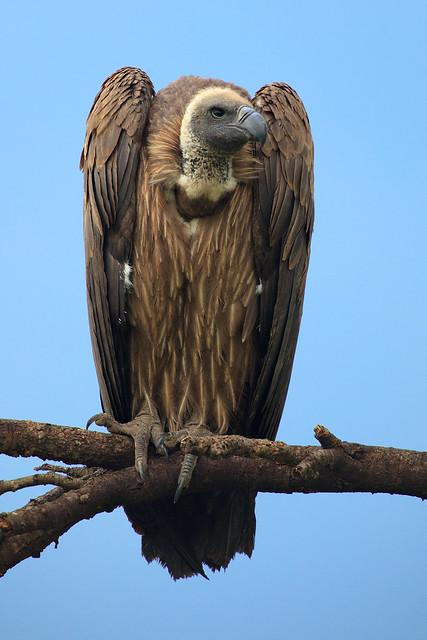 Vulture Vigilance