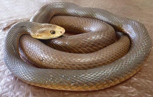 ular taipan