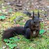 Eichhörnchen - quadratisch by swissgoldeneagle