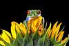Red-Eyed Tree Frog, CaptiveLight, Bournemouth, UK by rmk2112rmk